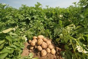 Отбор семенного картофеля