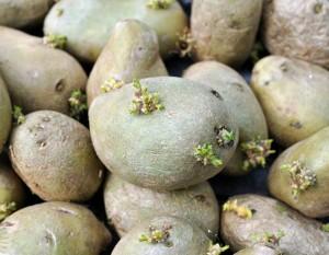 Озеленение семенного картофеля