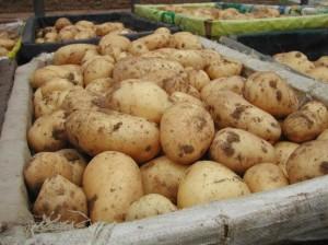 Сбор картофеля - общие правила
