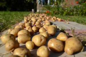 Раскладываем картофель на подкладку