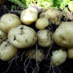 Уборка картофеля - метод подкапывания