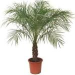 Как самому вырастить финиковую пальму?